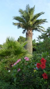 Palmbomen in Nederland